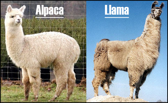 what is the difference between llamas and alpacas yahoo dating